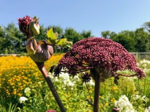 Angelica gigas, also called Korean angelica, giant Angelica, purple parsnip, and dangquai, is a monocarpic biennial or short lived perennial plant from China, Japan and Korea. This showstopper produces conspicuous, red-purple leaf sheaths with dense, purple domed flowerheads, and is highly attractive to bees.