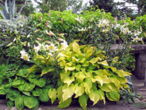 Hosta is a genus of plants commonly known as hostas, plantain lilies and occasionally by the Japanese name giboshi. Hostas are widely cultivated as shade-tolerant foliage plants.