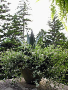From my large terrace, behind the many potted plants, magnificent spruce trees frame the glorious view of Seal Harbor. This large urn looks wonderful with the agave and Helichrysum.