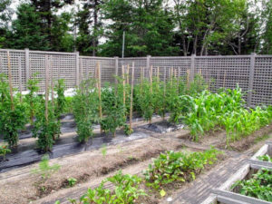 My garden in Maine is growing very nicely this season. The soil is comprised of lots of red granite, and loam. It is also very well-drained and very fertile.