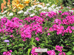 Here is some gorgeous pink phlox.