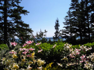 Some lilies can be quite tall - some grow in height up to six-feet. I love this view of Seal Harbor through the trees.