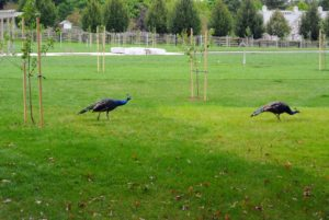 Across the carriage road - two of my most curious peafowl. They are strolling through the new fruit tree orchard we planted in this field over the summer.