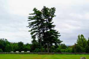 The group passed the great white pine trees - visible from almost every location on this end of the farm. Pinus Strobus is a large pine native to eastern North America. Some white pines can live more than 400-years.