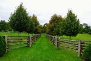 Here is a newer allee of lindens in between two of my paddocks - it is growing very nicely.