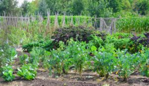 The vegetable garden is still full of fresh, leafy greens.