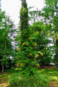 Climbing hydrangea plants can grow 30 to 80 feet tall. I have them growing on several trees on the farm.
