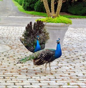 Peafowl are happiest when living in small groups. They can fly short distances, but prefer to walk most of the time. These fellows can often be seen walking around the stable or down by the chicken coops and vegetable garden.