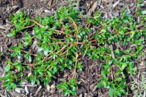 Another weed that is easy to pull, but tough to keep out of the garden is common purslane, Portulaca oleracea. Purslane is a succulent plant that will grow outward in a circle shape close to the ground. The fleshy red stems will have small green paddle shaped fleshy leaves. Purslane flowers are star-shaped and yellow in appearance. Purslane can be found in clear uncultivated or recently cultivated soil.