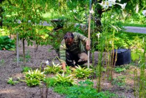 Here, Pete is careful to pull weeds from between precious plantings by hand. Getting the entire plant, including as much of the root system as possible, is critical. Many weeds will resprout from dormant buds in any large pieces that remain in the soil.