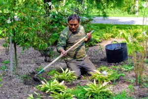 In this area, Pete uses a long-handled hoe around some larger specimens where he can remove a larger amount of young, newly sprouted weeds whose roots are still shallow. Some weed roots are bigger and stronger than others. If the weed is really large, a long trowel or narrow spading fork may be needed to get the whole root.