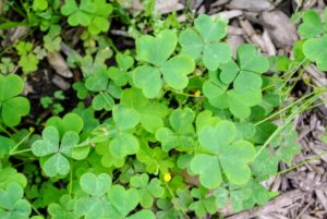 Common wood sorrel, Oxalis acetosella, blooms in spring, with small white flowers with pink streaks. It is found in open woods, prairies, and lawns. The leaflets are made up by three heart-shaped leaves, folded through the middle.