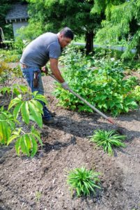 Wilmer uses the cultivator to go over the beds and to make sure no weeds were missed.