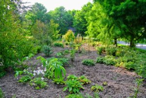 So many wonderful specimens are planted in this garden, including Epimediums, Syneilesis, Polygonatum, and Disporum.