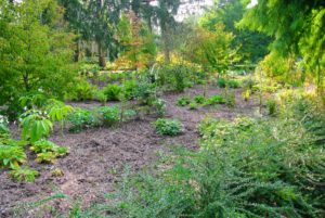 I wanted to underplant the grove of Stewartia trees with all sorts of shade-loving perennials.