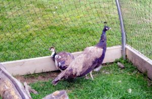 This new peahen is very healthy, tame and docile. Pedda also said she laid about 15-eggs this last breeding season, and nearly a dozen peachicks hatched.