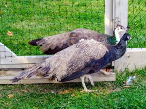 As you may know, peafowl are members of the pheasant family. There are two Asiatic species - the blue or Indian peafowl native to India and Sri Lanka, and the green peafowl originally from Java and Burma, and one African species, the Congo peafowl from African rain forests.