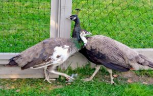 My new Bronze peacock and new Indiablue Pied peahen have only been here two days. They need time to acclimate to their surroundings, but they've been getting lots of attention here at the farm.