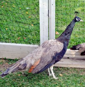 Bronze peafowl are very rare - not all breeders will have them. This male is so beautiful. He will have chocolate brown tail feathers at three-years of age - he's half way there.