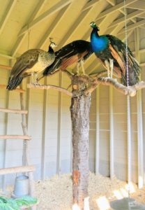 Here are the other peafowl in the room next door - two males and a female who have all grown up together. This trio is very close.