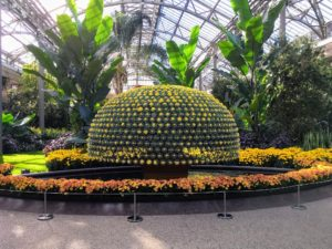 One of the highlights of our visit was the Chrysanthemum Festival, which runs through November 19 - here is the Thousand Bloom Chrysanthemum, a single chrysanthemum plant grown to produce as many perfect blooms as possible. Longwood traditionally grows the largest Thousand Bloom outside of Asia. This year's plant has 1,443 uniform blooms on a single plant that measures approximately 12-feet wide. (Photo courtesy of Longwood Gardens)