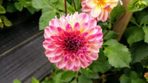 So many of the dahlias are just bursting with color. Dahlias belong to the Asteraceae family along with daisies and sunflowers. They are generally most hardy in USDA zones 7 through 11.