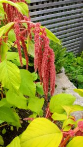 My garden at Skylands is blooming with many gorgeous specimens this time of year. This is an amaranth plant. Though it is typically grown as a decorative flower in North America and Europe, it is, in fact, an excellent food crop that is grown in many parts of the world. The amaranth plant is a grain and greens crop plant. The plant develops long flowers, which can be upright or trailing depending on the variety. The flowers are used to produce the amaranth grain, while the leaves can be used as amaranth greens.