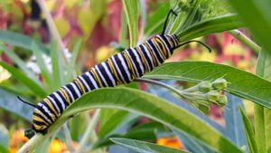 In the garden, Cheryl spotted many monarch butterfly caterpillars. Just nine to 14 days after hatching from its eggs, a caterpillar will be about two-inches long and fully grown.