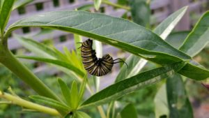 When the caterpillar is full grown it usually leaves the milkweed plant. It crawls, sometimes 20 or 30 feet away, until it finds a safe place to pupate. The caterpillar lays down a silk-like mat and then attaches itself to the mat with its cremaster. The caterpillar allows itself to drop and then hangs there, upside down in a J-shape, for about one full day.