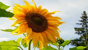And of course, the very recognizable sunflower, Helianthus or sunflower L. An annual plant, sunflowers have big, daisy-like flower faces of bright yellow petals, and occasionally red, and brown centers that ripen into heavy heads filled with seeds. It can grow to more than 16-feet tall.