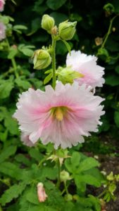 Hollyhocks come in a wide variety of colors, including reds, pinks, whites, and light yellows.