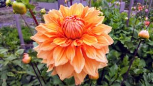 """Dahlias originated as wildflowers in the high mountain regions of Mexico and Guatemala – that's why they naturally work well and bloom happily in cooler temperatures. This is Dahlia """"Ben Huston"""" - a clean clear bronze color with excellent substance, depth and form."""