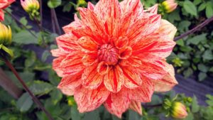 """The majority of dahlia species do not produce scented flowers or cultivars, but they are brightly colored to attract pollinating insects. Dahlias come in a rainbow of colors and even range in size, from the giant 10-inch """"dinnerplate"""" blooms to the two-inch lollipop-style pompons. Most varieties grow four to five feet tall."""