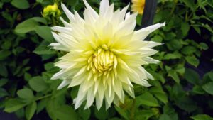 Dahlias thrive in rich, well-drained soil. The pH level of should be 6.5 to 7.0, and slightly acidic.