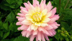 This is Dahlia 'Miss Teagan'. It is pink with inner cream white tones and is an excellent garden and cut flower variety.