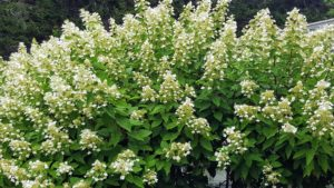 Panicle hydrangeas, Hydrangea paniculata, are the last of the Hydrangea species to bloom each summer. This particular hydrangea begins flowering around the 4th of July and can make quite a show with its big, cone-shaped panicle flower heads of pure white.