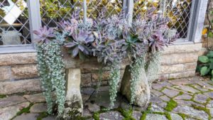 Every year, I plant uniquely shaped succulents in this ancient English stone trough. Many Echeveria species are popular as ornamental garden plants. They are drought-resistant, although they do better with regular deep watering and fertilizing.
