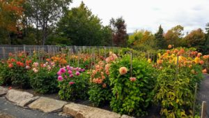 The dahlia garden continues to bloom spectacularly.