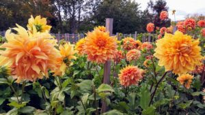 This is Dahlia 'Jane Cowl' a stunning informal decorative dahlia first released in 1928 - it has deep peach centers, which open up to glowing bronze petals dusted with gold.