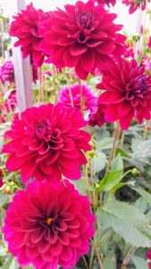 Dahlia 'Hy Sockeye' is a small, more formal, dark red dahlia.