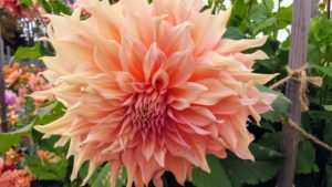 This dahlia is 'Pencil Watermelon'. This variety's big, shaggy blossoms come in an irresistible blend of peach, pink, lavender and yellow. They are fabulous cut flowers and in high demand for weddings.