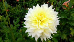 These blooms are Dahlia 'Hy Mom'. They have an incurved cactus form with spectacular big white flowers - it was first introduced in 2001. We have so many beautiful dahlias this year.