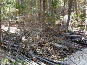 Storms, and old age, all contribute to the ever changing appearance of a woodland. There are many brambles, weeds, vines, and useless seedlings growing in all the woods. These must be cleared from time to time, so there is room to plant and cultivate seedling trees that will be more beneficial.