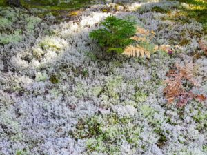 And look at all the lichen. Lichens are found in many parts of the world, even polar regions and high altitudes. They grow on rocks, wood or firm soil, and most are this grey-green color.