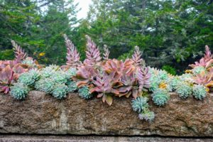 And here is the long trough - also overflowing with gorgeous succulents.