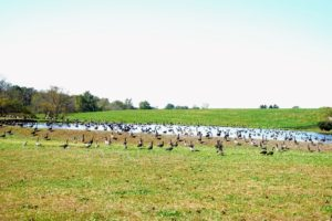 Geese are frequent visitors to the lakes at Longwood Gardens. Go to my Instagram page @MarthaStewart48 to see a video of all these geese flying.