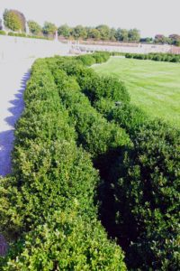 These are the newly planted Japanese boxwood hedges, Buxus microphylla var. japonica 'Green Beauty'. More than three-thousand new boxwood have been installed in the garden during the last several years.