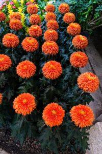 And this is a reflex mum, Chrysanthemum × morifolium 'Paint Box' - I admired its bold orange-red color.