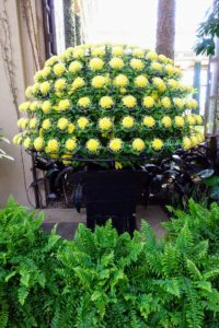 This is called a Small Thousand Bloom form, planted with an irregular incurve mum, Chrysanthemum × morifolium 'Early Seiko'.