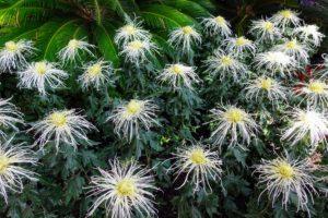 Here is another spider mum, Chrysanthemum × morifolium 'Showers'.